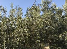 10 acres olives and fruit farm