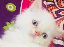 قطط شيرازي بيور عمر 45يوم