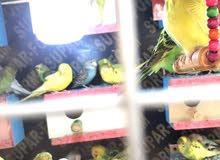 طيور حب مزاويج سبانجل صافي جميع الاوان