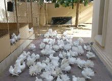 للبيع مجموعة حمام شامسي بحريني العدد 50 حبه