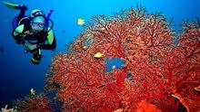 مرجان احمر لعلاج السرطان