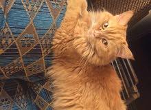 قطة شيرازى تبرع