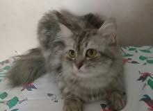 قطة شيرازي مون فيس للبيع