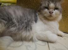 قطة أنثى للتبني