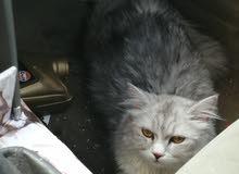 قط شيريزي  انثي