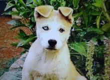 كلب هاسكي فرصه لا تعوض بسعر 40 دينار أو بدل هاتف