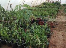 مشتل انتاج نباتات و أشجار زينة للبيع أو المشاركة بسبب السفر  بشرط التفرغ