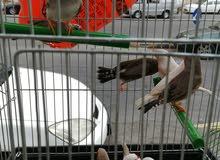 طيور الجنه جوز 4دنانير