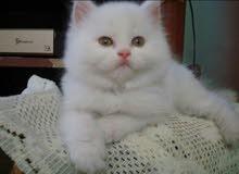 قطه شيرازيه بيضه عمرها ست شهور خلوه وحنونه