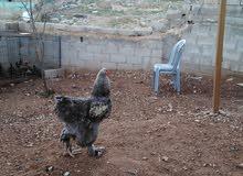 ديك براهمه مع دجاجه