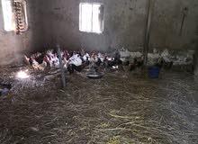 دجاج سلالة عمانية بياض