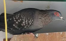 for sale African pigeons