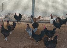 chicken laying ggs for sale..