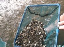 فراخ سمك مشط وحيد جنس تايلندي مستورد سلفر وأحمر