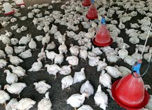 للبيع دجاج مع الذبح بالجملة وزن 600-700جرام صافي