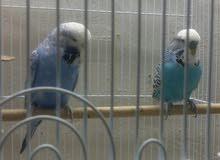 جوز طيور الحب انقلش حجم وصحه وخيره قدام