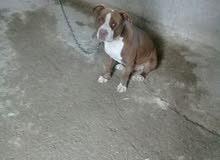 جوز كلاب بيتبو ل نخب للبيع هي رقم صاحبها  0785442073