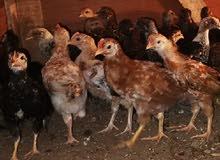 فروخ دجاج بلدي وفيومي
