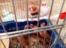 طيور جنة