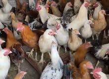 دجاج للبيع مشكل بياض