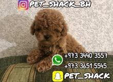 كلاب توي بودل للبيع // Toy Poodle Dogs for Sale