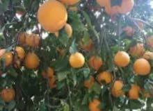 مزرعة 23فدان مزروعة بأشجار(البرتقال- النخيل - العنب)-هذا العقار بمصر