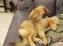 كلب بيكنواه ولد 4 شهور للبيع بسعر مغرى