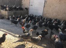 دجاج فيومي صلاة النبي