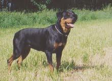 تربيه وتدريب انواع الكلاب وانواع التدريبات بأقل سعر واول كلب مجانا