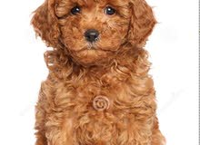 Required toy poodle