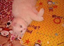 قطه شيرازي ابيض