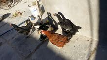دجاج وبشوش