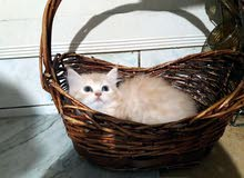 Shirazi Kittens
