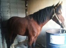حصان للبيع او البدل بمهره