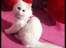 قطة بيضاء عمرها 4 شهور  اسمها كاليسي شيرازي تربية بيت  عيون خضر