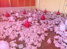 دجاج ابيض لاحم للبيع. ( 98230074)