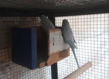 طيور فيشر للبدل على طيور الجنة او حمام انجليزي