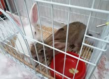 rabbits pair for sale