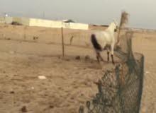 للبيع حصان عربي أصيل
