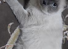 للبيع قطط  الرقم 36365466