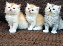 قطط شيرازي بيور ذكور..........