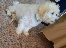 للبيع كلب ذكر تيريري