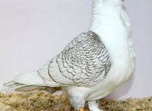 Looking for (BABY) oriental frill pigeon