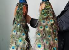 مطلوب زووج طاووس للبيع...باي سعر
