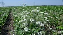 للحصول على بذور الخلة البرية ( Ammi majus) لعلاج البهاق