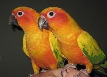 sun conure bird pair 1 year old