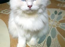 Turkish angora female