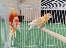 ردرام برتقالي أحمر Orange Red RedRumps pair