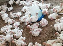 دجاج ابيض لحم جاهز للاكل