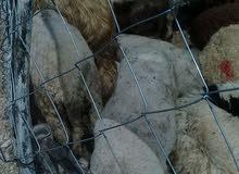 لا داعي لدجاج حررررق اسعار على اللحم البلدي والروماني كيلو الحم البلدي 7.25 والروماني 6